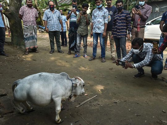 photos:-thousands-flock-to-see-dwarf-cow-in-bangladesh