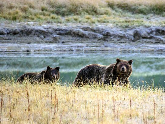 a-grizzly-bear-terrorized-a-man-for-days-in-alaska-the-coast-guard-saw-his-sos.